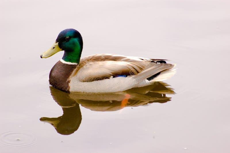 鸭子查出的游泳 免版税库存照片