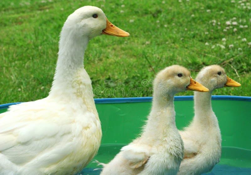 鸭子母亲 免版税库存照片