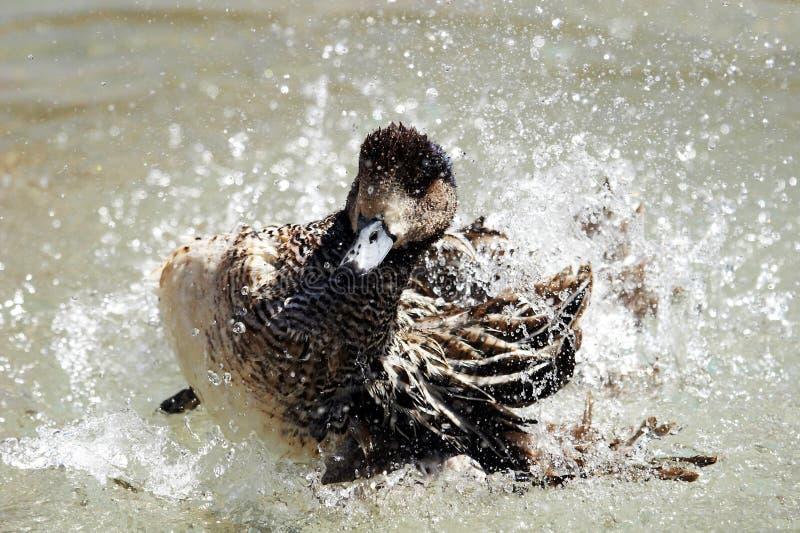 鸭子水 库存照片