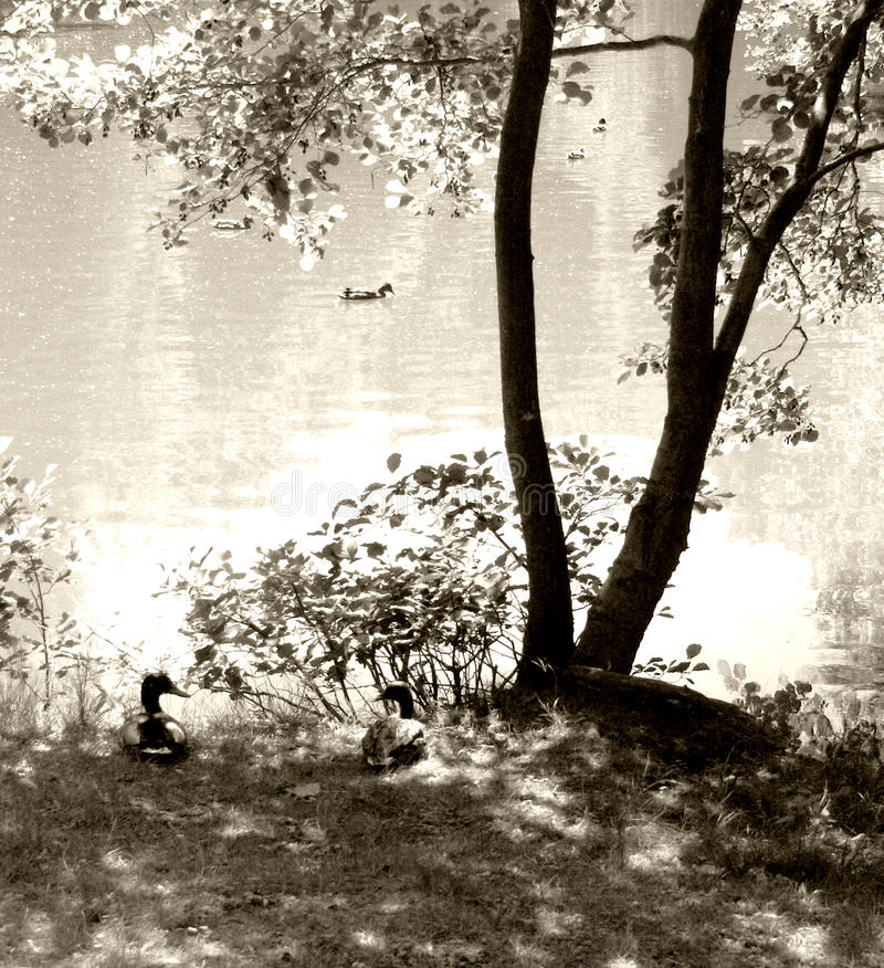 鸭子池塘结构树 图库摄影