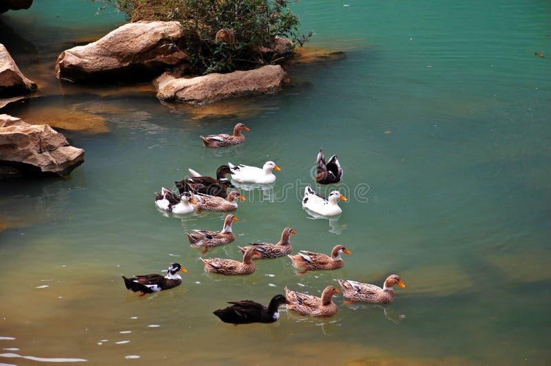 鸭子池 免版税库存照片