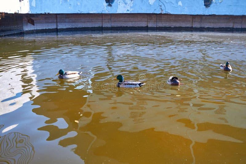 鸭子游泳在水中 德雷克在湖游泳 许多鸭子在城市池塘游泳 与明亮的多彩多姿的羽毛的鸟 鸭子 免版税图库摄影