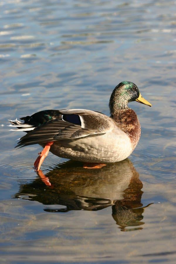 鸭子游泳水 库存图片