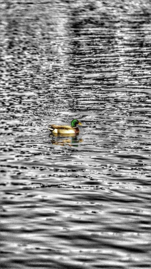 鸭子游泳 图库摄影