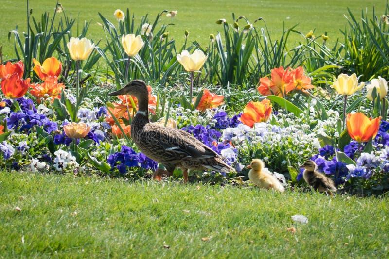 鸭子用在杜乐丽花园,巴黎,春天的鸭子 免版税库存照片