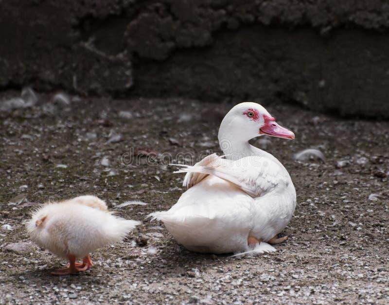 鸭子用鸭子 库存照片