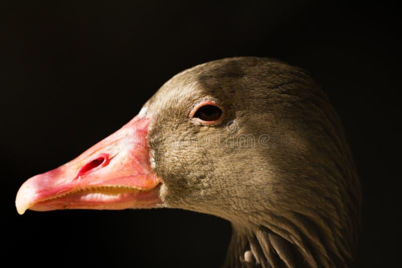 鸭子画象在黑背景的 库存图片
