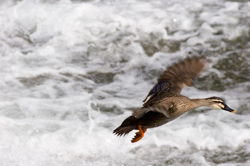 鸭子着陆 图库摄影