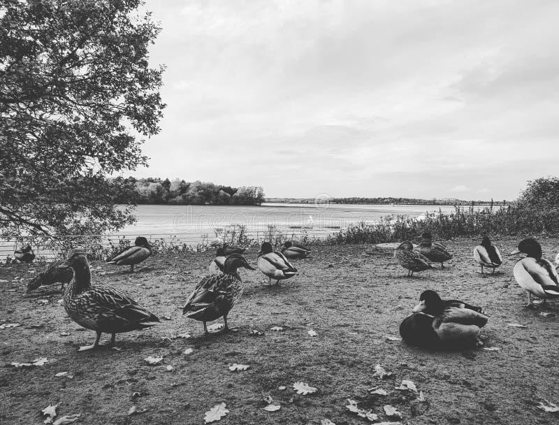 鸭子社区 库存图片