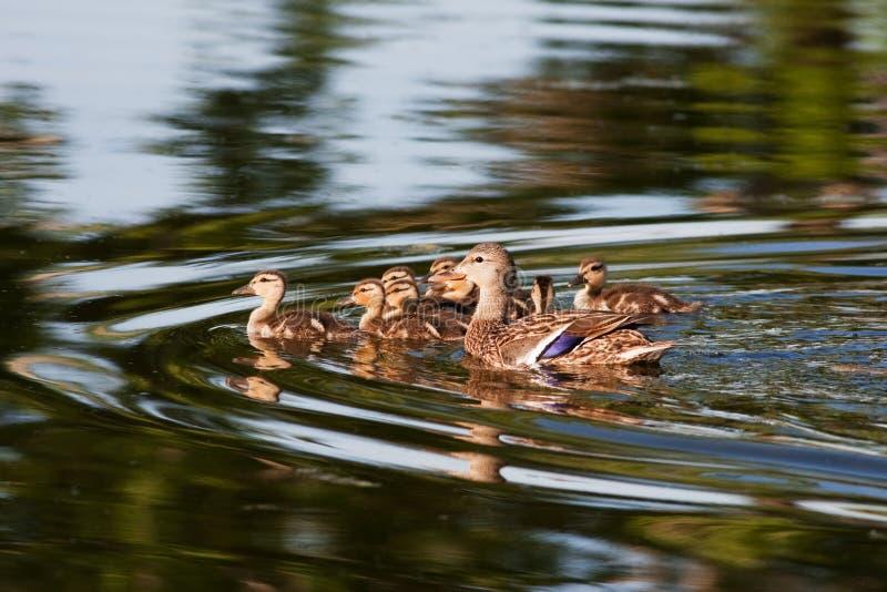 鸭子系列野鸭 库存图片