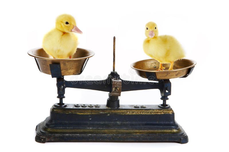 鸭子缩放比例 库存照片