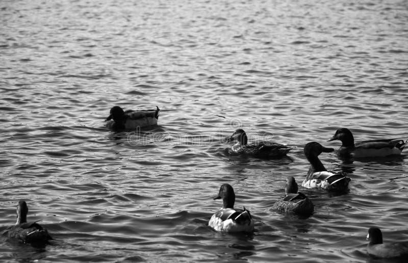 鸭子美丽的黑白画象在湖 免版税图库摄影