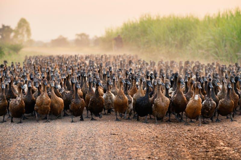 鸭子群与成群在土路的农业学家的 库存照片