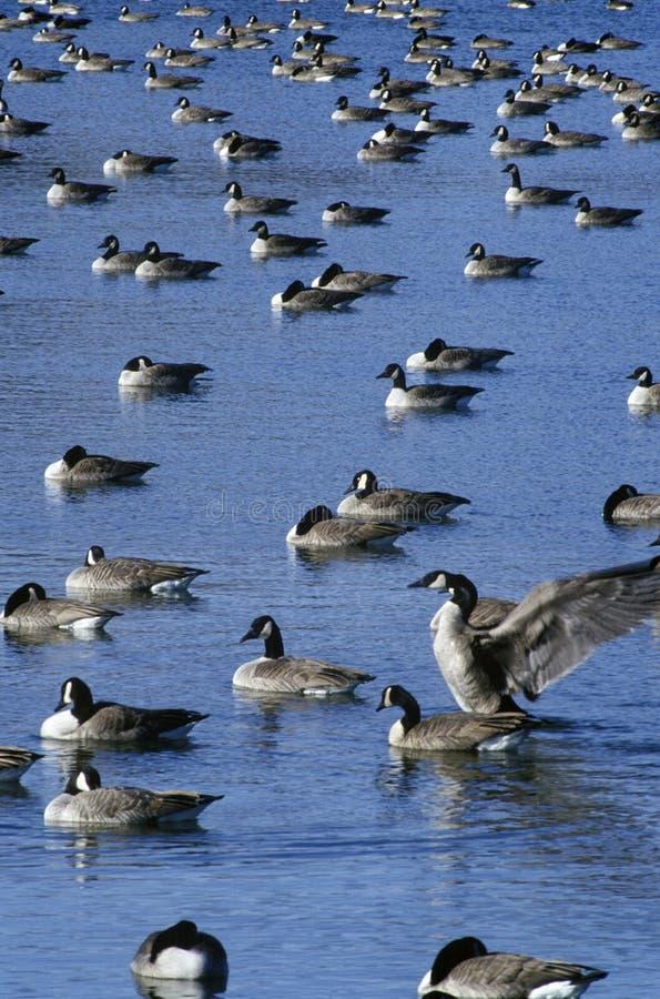鸭子群在池塘的,皮埃尔, SD 库存照片