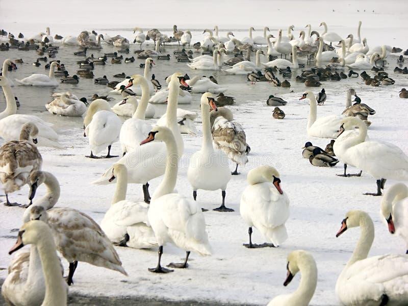 鸭子群天鹅 免版税图库摄影