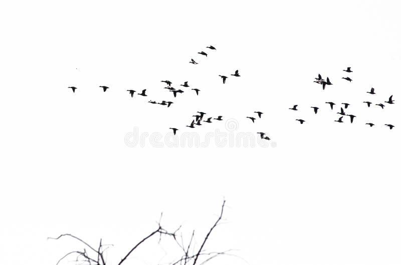 鸭子群现出轮廓反对白色背景 库存照片