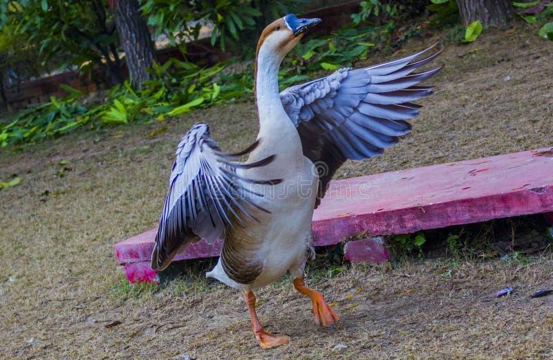 鸭子翼 库存图片