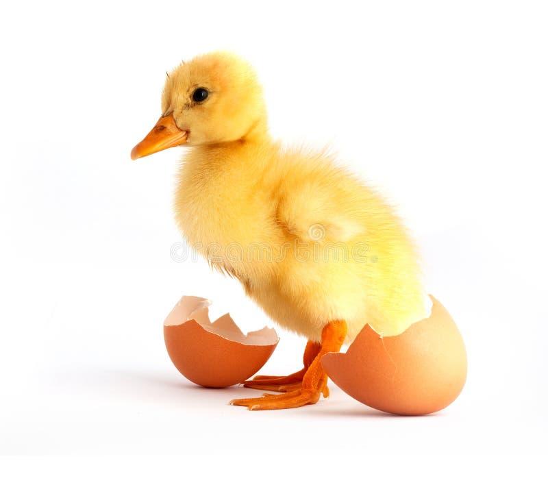 鸭子蛋小的黄色 图库摄影