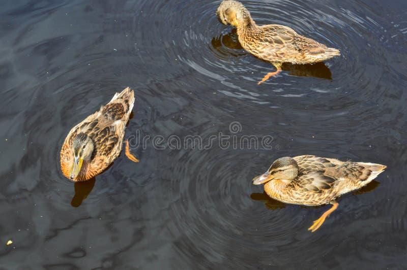 鸭子许多美丽的野生水禽群用与额嘴和翼游泳的小鸡鸭子反对背景 库存照片
