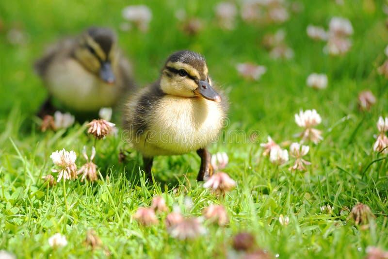 鸭子蹒跚地走草的对 免版税图库摄影
