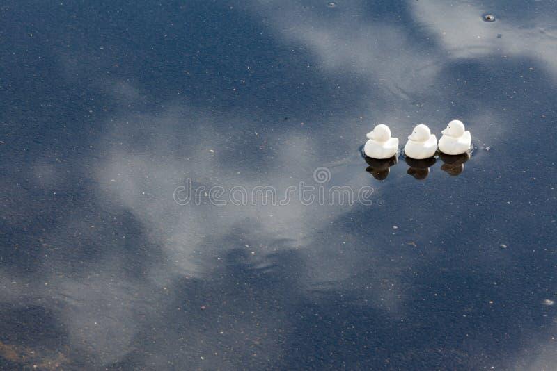 鸭子连续在水坑 库存照片