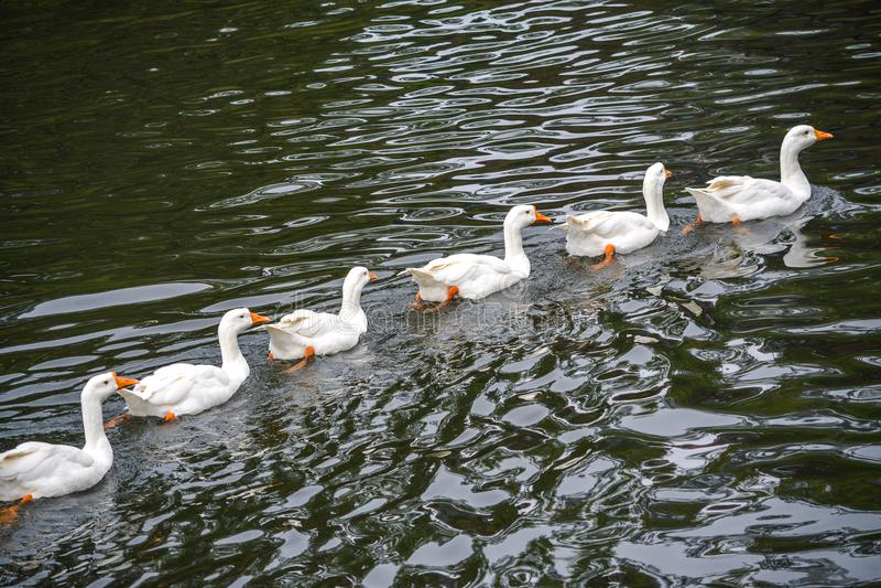 鸭子连续 库存图片