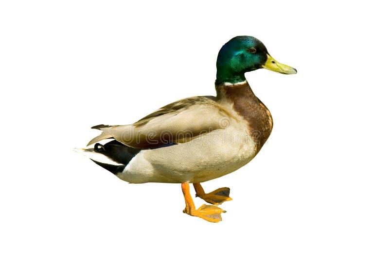 鸭子野鸭 免版税图库摄影