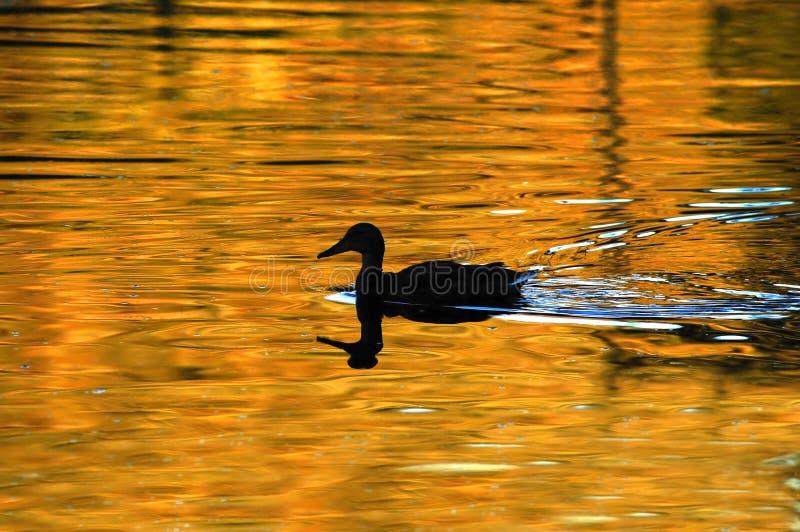 鸭子金黄池塘剪影 图库摄影