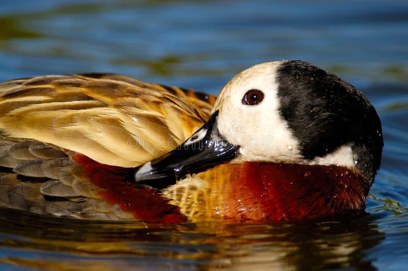 鸭子面对的吹哨的白色 免版税图库摄影