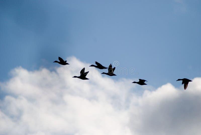 鸭子飞行南部 免版税库存图片