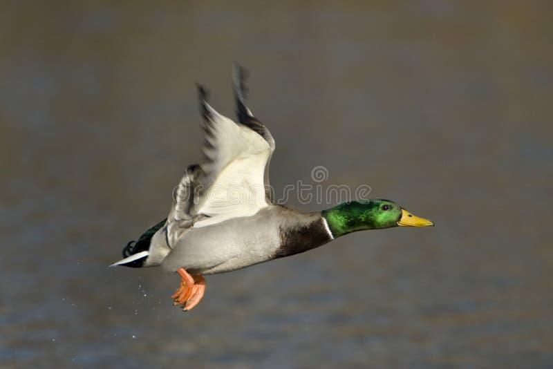 鸭子飞行男野鸭 库存图片