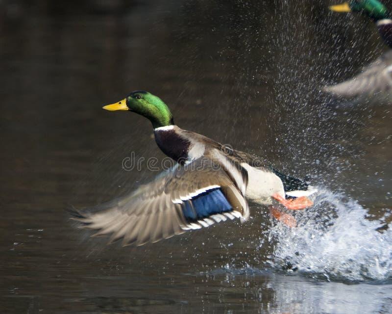 鸭子飞行男野鸭 免版税图库摄影
