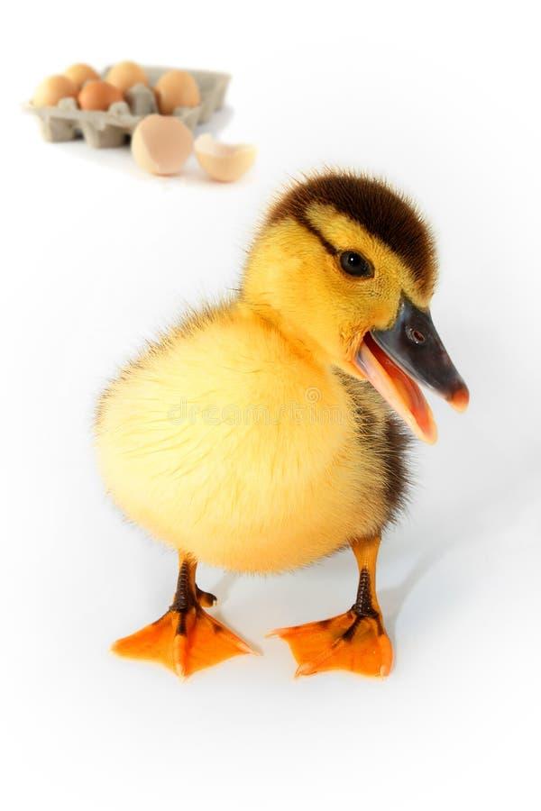 鸭子鸡蛋 库存图片