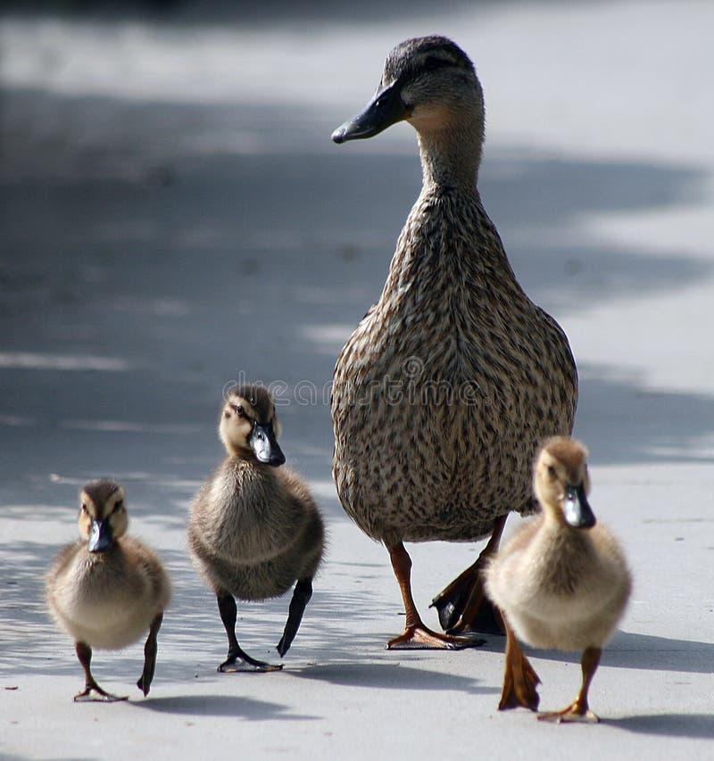 鸭子鸭子母亲 免版税库存照片