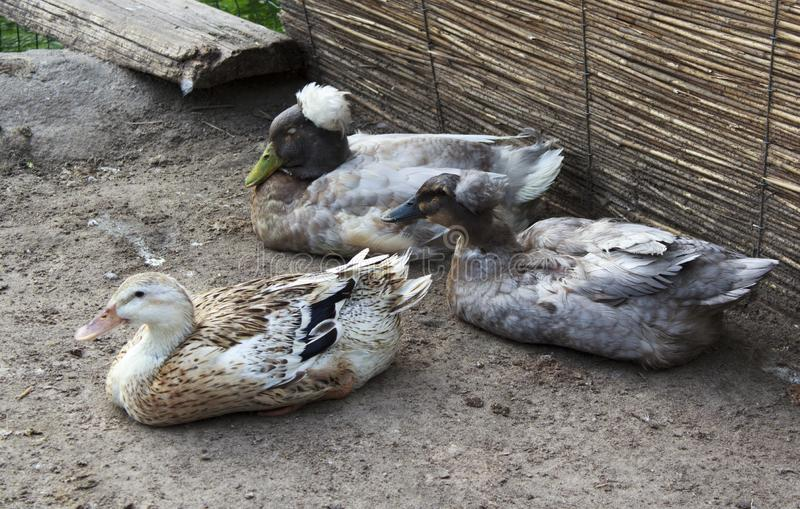 鸭子,水,鸭子,池塘,湖,鸭子,鸭子,家庭,背景,逗人喜爱,羽毛,游泳,草,农场,羽毛, 免版税库存图片