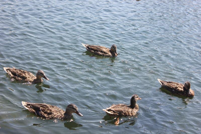 鸭子,蒙特利尔,加拿大 免版税库存图片