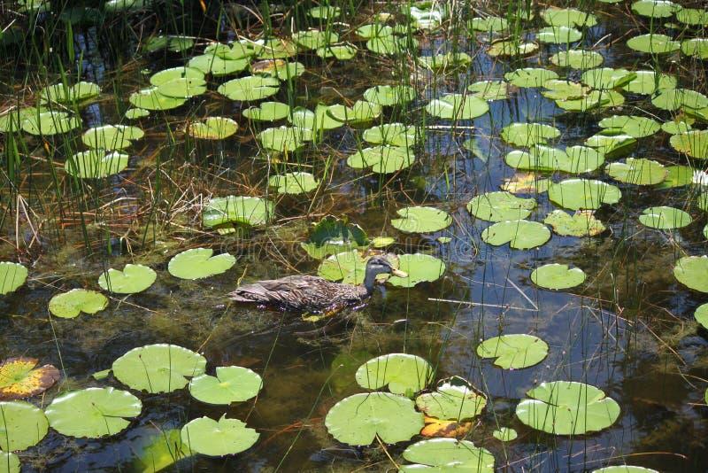 鸭子4 图库摄影