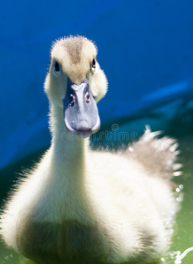 鸭子 免版税库存照片