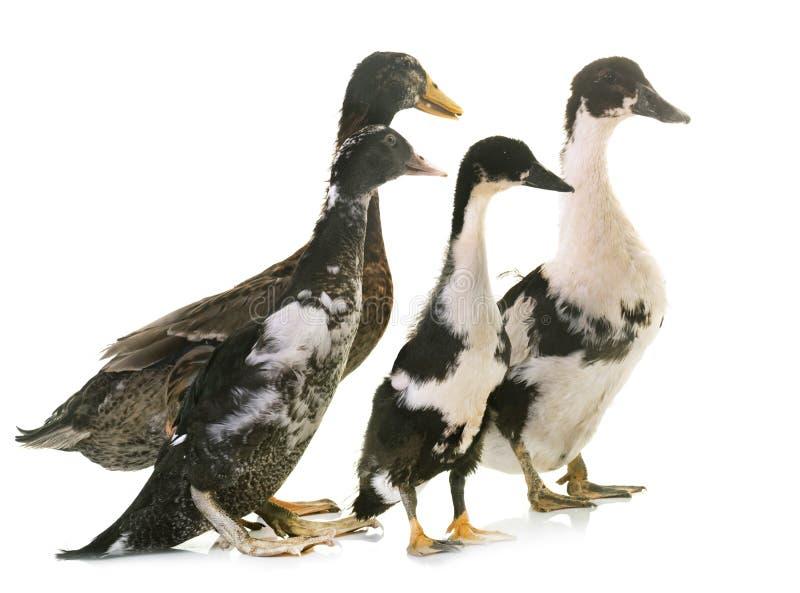 组鸭子 免版税库存图片