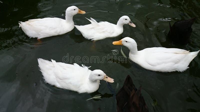 鸭子 库存照片