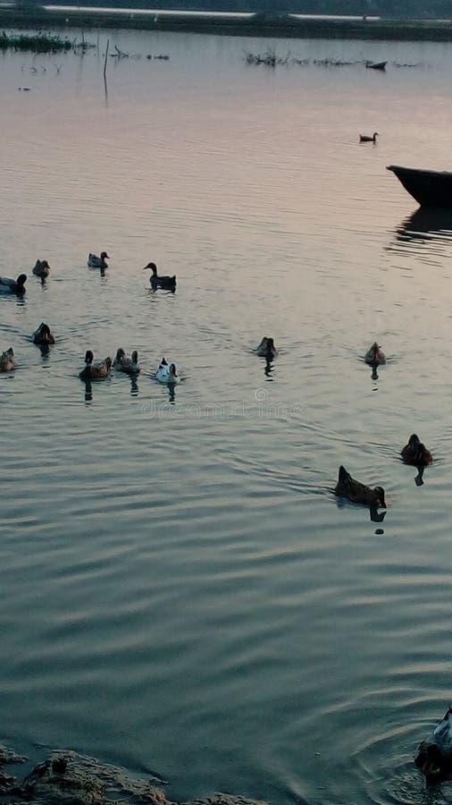 鸭子duckview晚上realduck鸭子 免版税库存图片