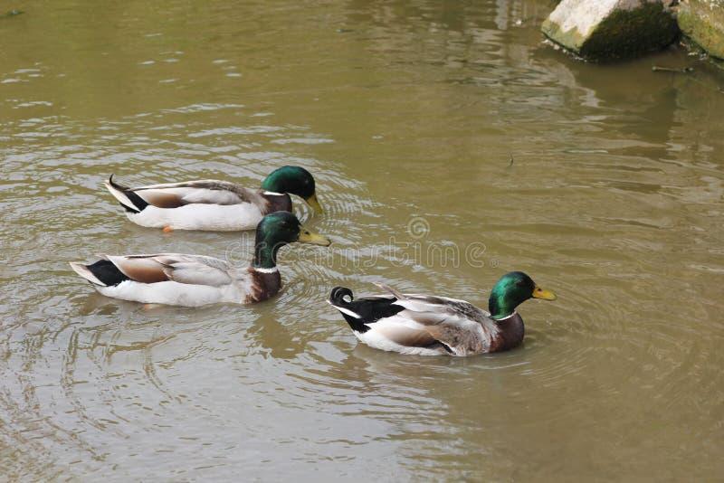鸭子en pein空气舞蹈  库存图片