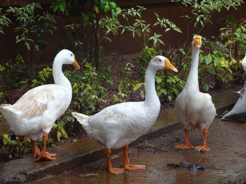 鸭子Pics在庭院里 免版税库存图片