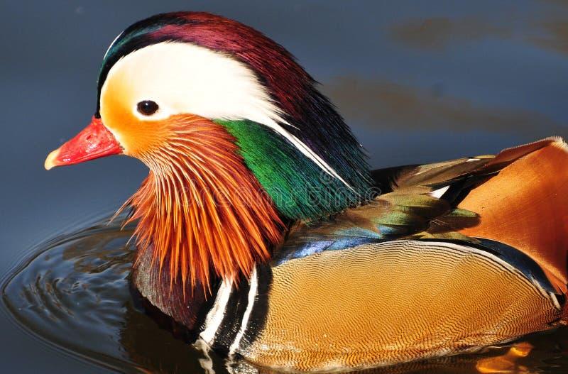 鸳鸯壮观的羽毛  免版税图库摄影