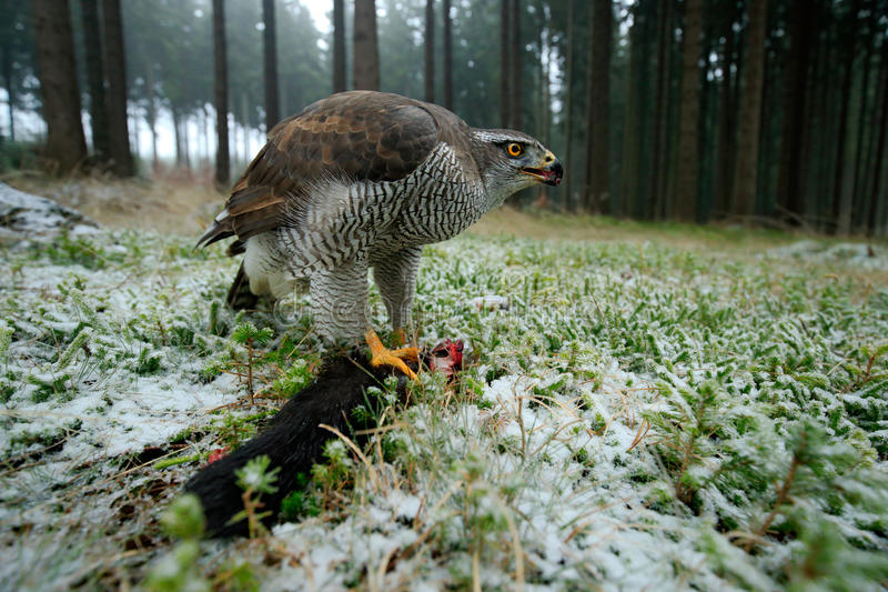 鸷与杀害的苍鹰在有冬天雪的-与广角镜头的照片森林里捉住红松鼠 免版税库存照片