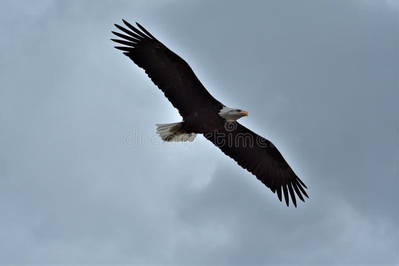 鸷他的受害者的狩猎草掠食性鸟的 库存图片