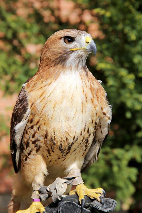 鸷红盯梢了在美国已知的鹰作为小鸡 库存图片