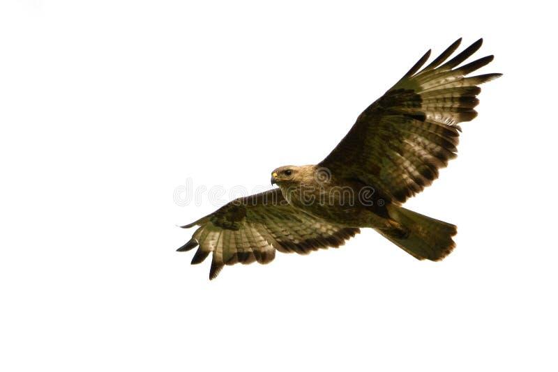 鸷-在白色背景隔绝的共同的肉食鵟鸟鵟鸟 免版税库存照片