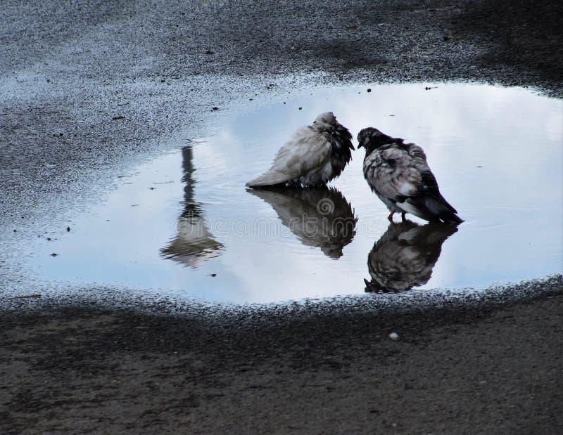 鸽子二 免版税库存图片