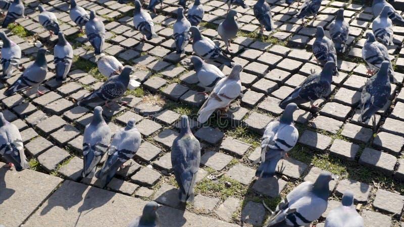 鸽子人群在走的街道上的在曼谷,泰国 ?? 小组鸽子为食物战斗,许多奋斗 图库摄影